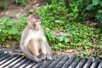 Wild Rhesus Macaque at Kam Shan County Park, Hong Kong