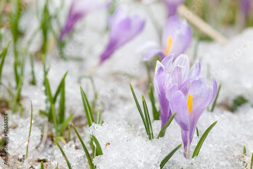 Fotobehang Krokus crocus flowers