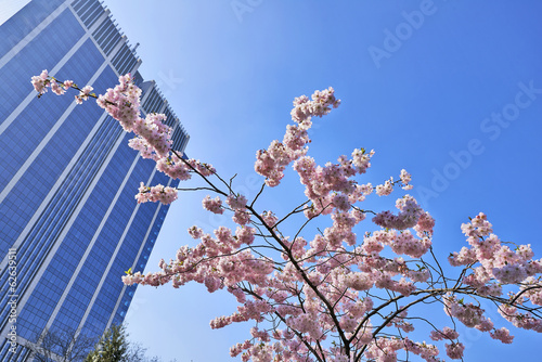 Cherry blossoms with nice modern building in background