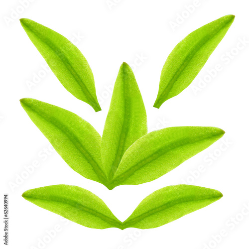 Green tea leaves in different position on a white background.