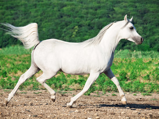 white arabian stallion  in motion at freedom