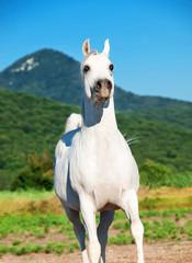 white arabian stallion  in motion at freedom