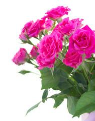 bush of pink roses