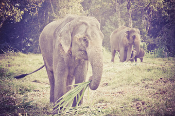 Asian elephant mother and baby in Thailand with retro effect