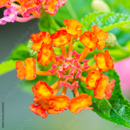 Colorful Lantana camara flowers