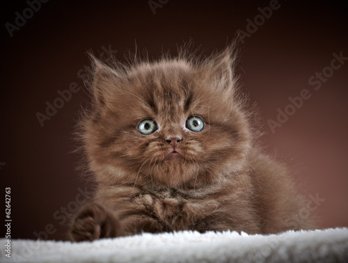 british long hair kitten