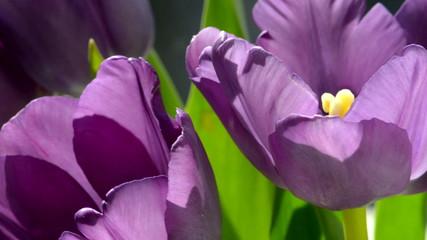 Purple tulips in the sunlight