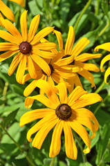 Beautiful yellow rudbeckia flower in the flowerbed