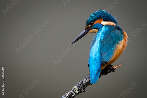 UK Wild Kingfisher
