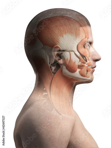 medical illustration of the male facial muscles