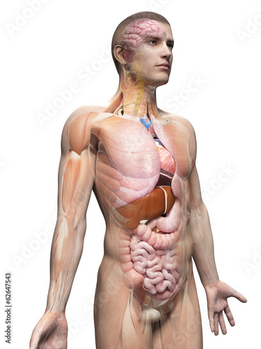 medical illustration of the male anatomy