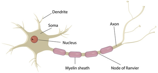 Nerve Cell Labeled Diagram