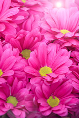 beautiful pink chrysanthemum flower with sunbeam