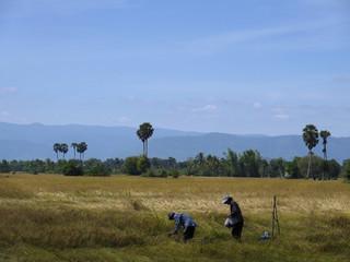 Rice fields, Kampot, Cambodia
