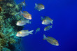 Shoal of bigeye emperor fish in the red sea