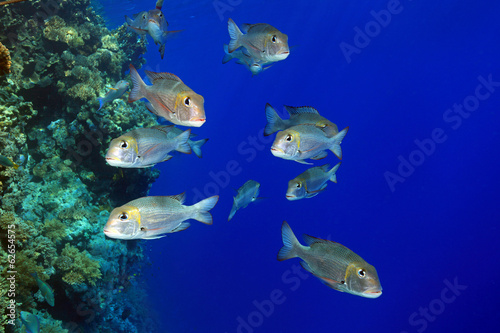 Shoal of bigeye emperor fish in the red sea