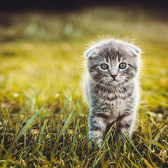 Gray cat walking on green grass