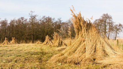 Landscape with bundles of reed In wetland