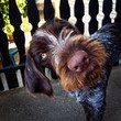 Funny looking German wirehaired pointer