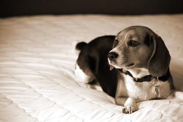 Beagle dog laying down