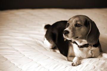Beagle dog laying down