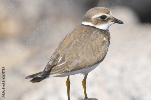 Adult Kentish Plover Water Bird