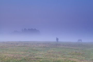 horses grazing on pasture in dense fog