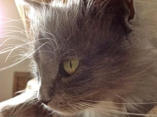 Профиль серой кошки
