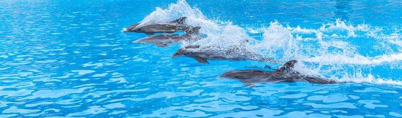 Dolphins swimming in a race across the pool