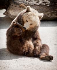 Brown bear (Ursus arctos arctos) licks his paw