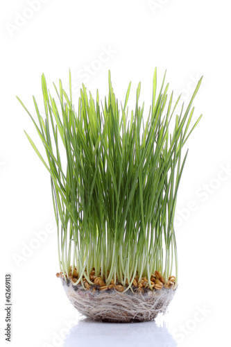 Seedling wheat isolated on white background