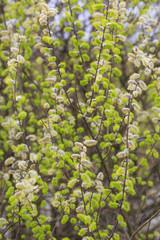 Willow tree, Salix, blooms in spring