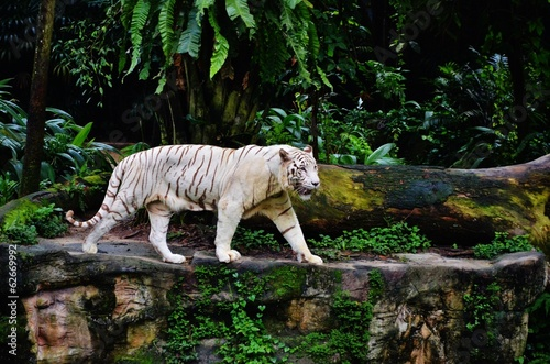 Fotobehang Singapore White Tiger