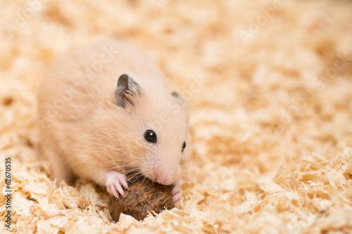 クルミを食べるキンクマハムスター