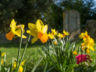 Daffodils in the Churchyard
