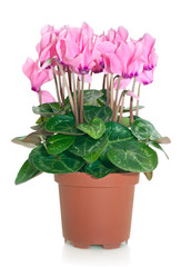 blooming cyclamen in flowerpot isolated on white