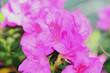 Obrazy na płótnie, fototapety, zdjęcia, fotoobrazy drukowane : Цветы азалии
