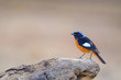Bird on the best perch (Duarian Redstart) , Chiangmai Thailand
