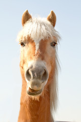 horse hafling