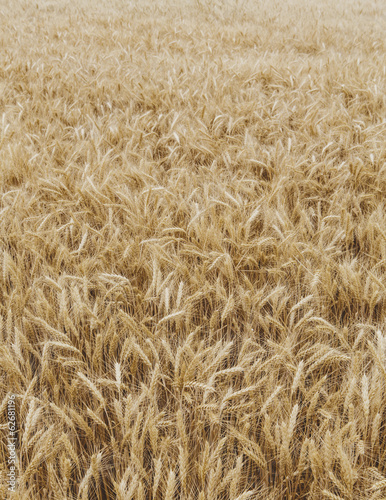 A Field Of Ripening Wheat Growing, Near Pullman In Whitman County.