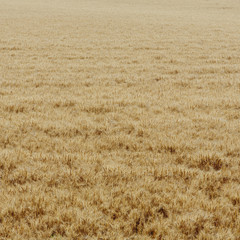 A Wheat Field With A Ripening Crop Of Wheat Growing. Wind Blowing Over The Top Of The Crops.