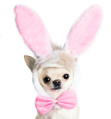 chihuahua dog in a funny costume of an Easter hare