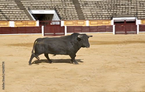 Powerful Spanish bull