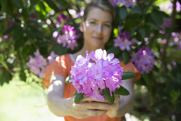 A Woman Standing In Front Of A Flowering Shrub, Holding Out A Large Purple Hydrangea Bloom.
