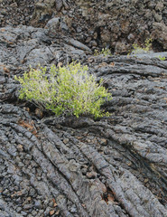 The Lava Fields Of The Craters Of The Moon National Monument And Preserve In Butte County Idaho. Sagebrush Plants Growing.