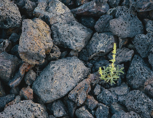 A Close Up Of A Small Green Shoot, A Plant Growing Among Volcanic Rocks. Solidified Lava Fields In The Craters Of The Moon National Monument And Preserve In The Snake River Plain In Central Idaho