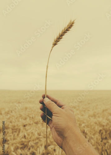 A Human Hand Holding A Stalk Of Wheat With A Ripening Ear At The Top.