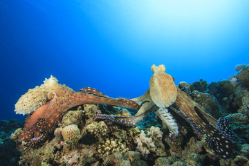 Pair of Octopus mating