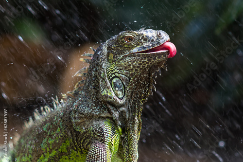 Iguana having a shower