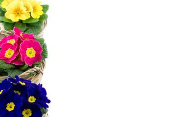 three multicolor primroses piled isolated